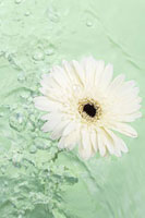 Gerbera daisy floating on water