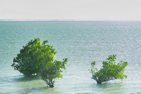 Mangroves growing in sea, Madagascar