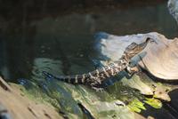 Juvenile caiman
