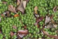 Fallen leaves on star moss