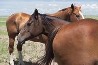 Wild horses, Badlands National Park, South Dakota, USA