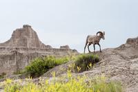 Bighorn sheep, Badlands National Park, South Dakota, USA