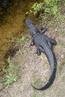 Alligator at water's edge, Everglades National Park, Florida, USA