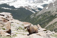 Yellow-bellied marmot (Marmota flaviventris), Rocky Mountain National Park, Colorado, USA