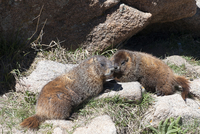 Yellow-bellied marmots (Marmota flaviventris), Rocky Mountain National Park, Colorado, USA