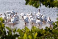 Flock of white pelicans wading along Sanibel Island, Florida, USA