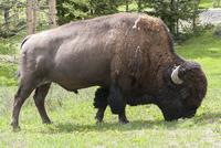 American bison (buffalo) grazing in Yellowstone National Park, Wyoming, USA
