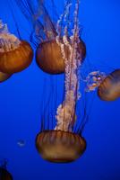 Pacific sea nettle jellyfish (Chrysaora fuscescens)