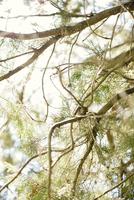 Cedar tree branches