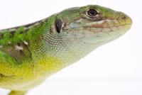 Western green lizard (Lacerta bilineata), close-up