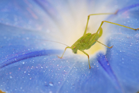 Grasshopper and dew drops on morning glory flower
