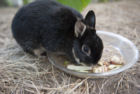 Rabbit eating food from bowl