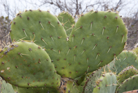 Heart shaped cactus 11025010336| 写真素材・ストックフォト・画像・イラスト素材|アマナイメージズ