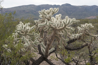 Cholla cactus in a desert of Arizona, USA