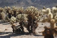 Cholla cactus growing in Joshua Tree National Park, California, USA 11025010426  写真素材・ストックフォト・画像・イラスト素材 アマナイメージズ
