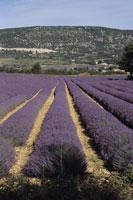 Lavendar fields