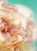 Close up of carnation