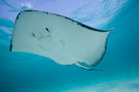 Underwater view of Southern Stingray