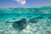 Southern Stingrays swimming