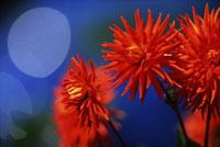 Red dahlias 11029000044| 写真素材・ストックフォト・画像・イラスト素材|アマナイメージズ