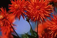 Red dahlias 11029000065| 写真素材・ストックフォト・画像・イラスト素材|アマナイメージズ