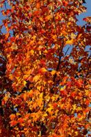 Autumn leaves 11029000139| 写真素材・ストックフォト・画像・イラスト素材|アマナイメージズ