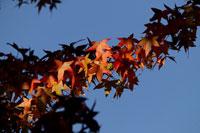 Autumn leaves 11029000140| 写真素材・ストックフォト・画像・イラスト素材|アマナイメージズ