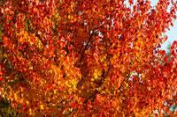 Autumn leaves 11029000142| 写真素材・ストックフォト・画像・イラスト素材|アマナイメージズ