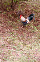 Rooster walking in the grass