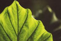 Close up of leaf structure 11029000491| 写真素材・ストックフォト・画像・イラスト素材|アマナイメージズ