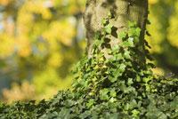 Ivy on tree trunk 11029000545| 写真素材・ストックフォト・画像・イラスト素材|アマナイメージズ