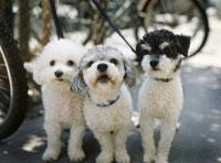 Three dogs 11029000599| 写真素材・ストックフォト・画像・イラスト素材|アマナイメージズ