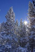 Sun shining through snow covered trees 11029000689| 写真素材・ストックフォト・画像・イラスト素材|アマナイメージズ