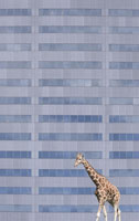 Giraffe walking by office building