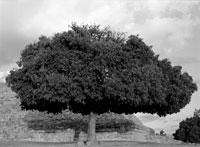 Giant tree 11029004748| 写真素材・ストックフォト・画像・イラスト素材|アマナイメージズ