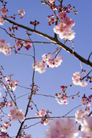 Close-up of pink blossoms and blue sky