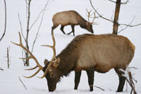 Elk grazing on snow covered ground