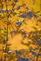 Close-up of yellow autumn leaves 11029005851| 写真素材・ストックフォト・画像・イラスト素材|アマナイメージズ