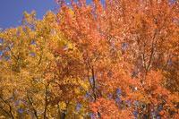 Autumn leaves and blue sky 11029005852| 写真素材・ストックフォト・画像・イラスト素材|アマナイメージズ