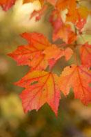 Close-up of autumn leaves on branch 11029005853| 写真素材・ストックフォト・画像・イラスト素材|アマナイメージズ