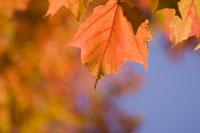 Close-up of autumn leaves 11029005854| 写真素材・ストックフォト・画像・イラスト素材|アマナイメージズ