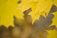 Close-up of yellow leaves in autumn
