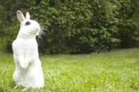Rabbit standing on hind legs 11029008812| 写真素材・ストックフォト・画像・イラスト素材|アマナイメージズ