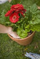 Woman potting flowers 11029009385| 写真素材・ストックフォト・画像・イラスト素材|アマナイメージズ