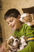 boy playing with English bulldog puppies
