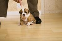 Man scolding English bulldog puppy