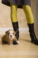 English bulldog puppy at woman's feet