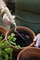 Woman planting cilantro 11029012390| 写真素材・ストックフォト・画像・イラスト素材|アマナイメージズ