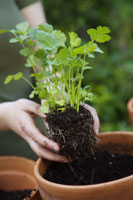 Woman planting cilantro 11029012391| 写真素材・ストックフォト・画像・イラスト素材|アマナイメージズ