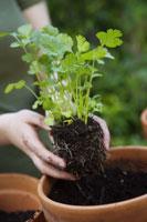 Woman planting cilantro
